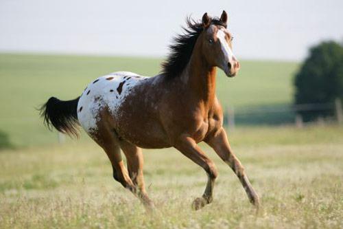 Appaloosa Horses - saddleupcolorado